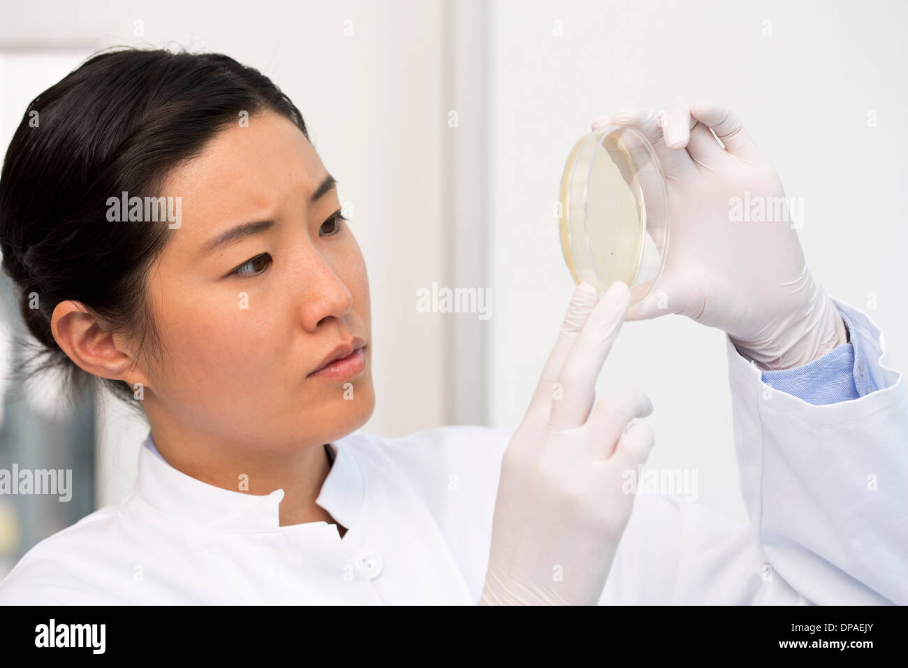 Female scientist examining bacterial growth/plaques in petri dish - Stock Image
