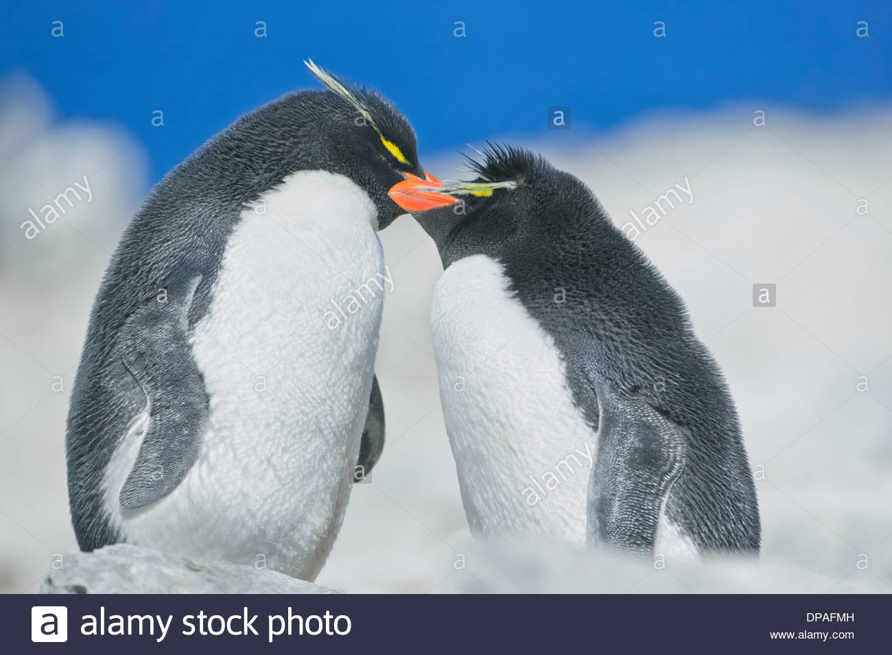 Two Rockhopper penguins (Eudyptes chrysocome chrysocome) in an affectionate mood, Falkland Islands - Stock Image