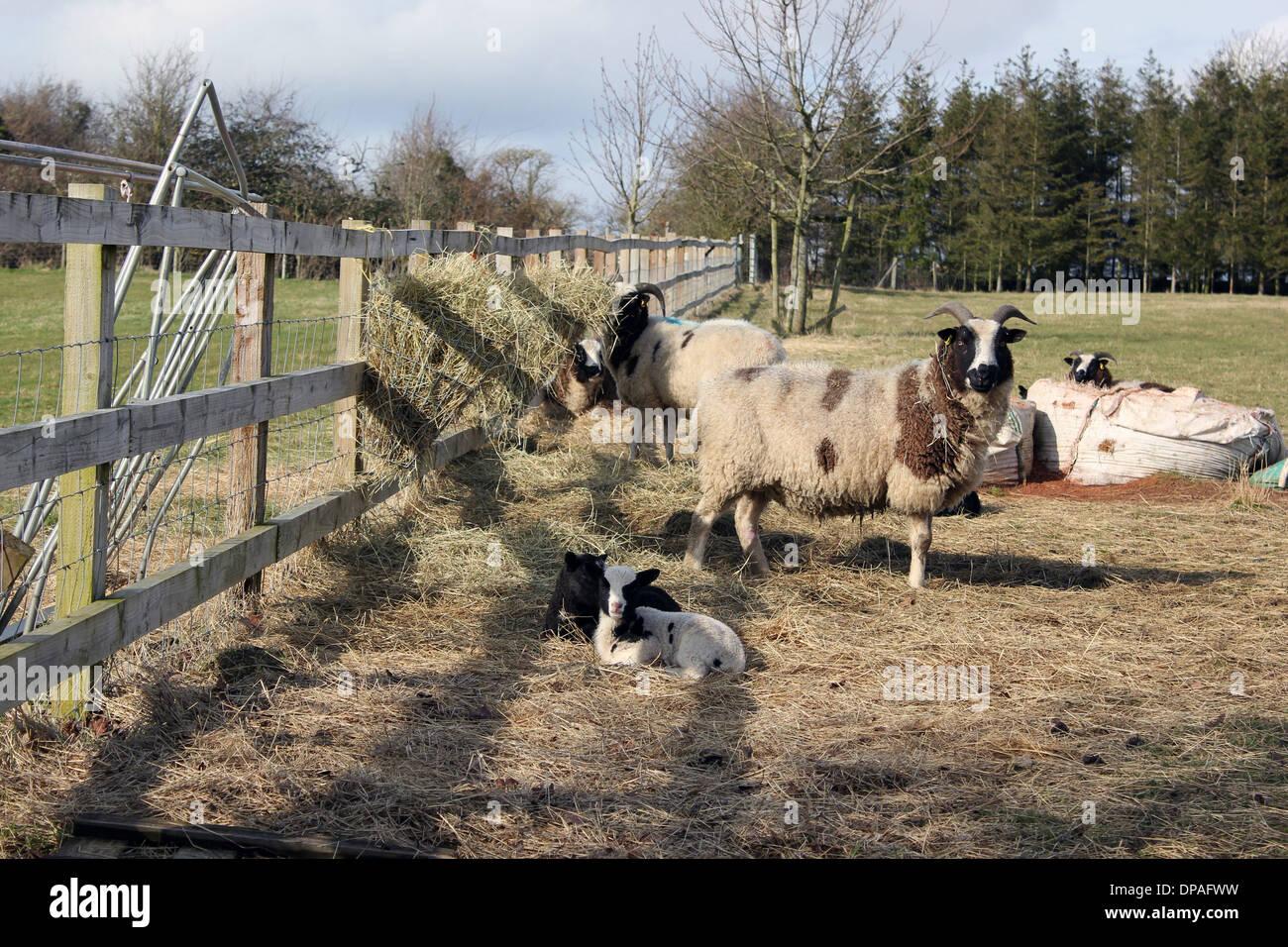 Jacob sheep with their lambs - Stock Image