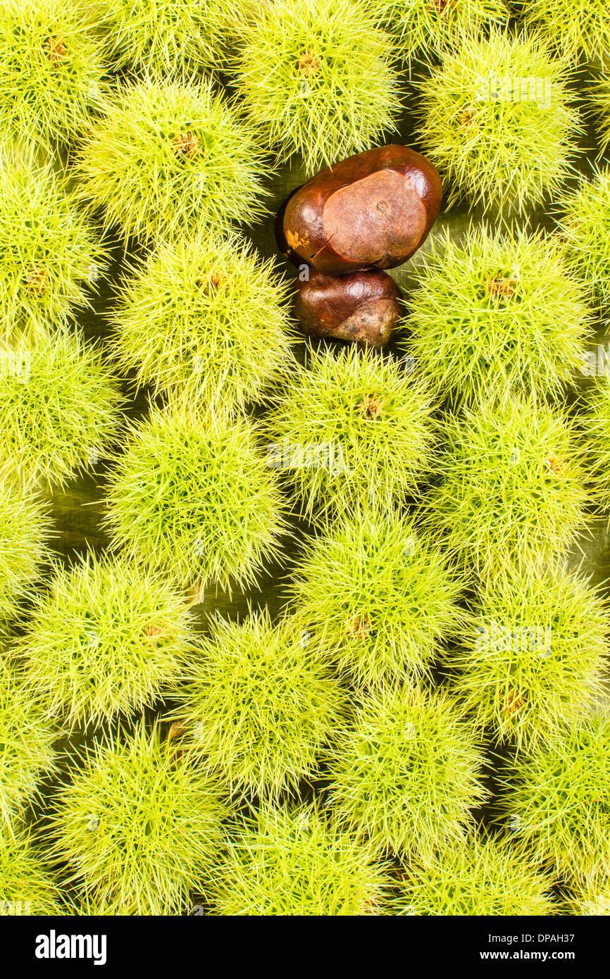 Chestnut background - Stock Image