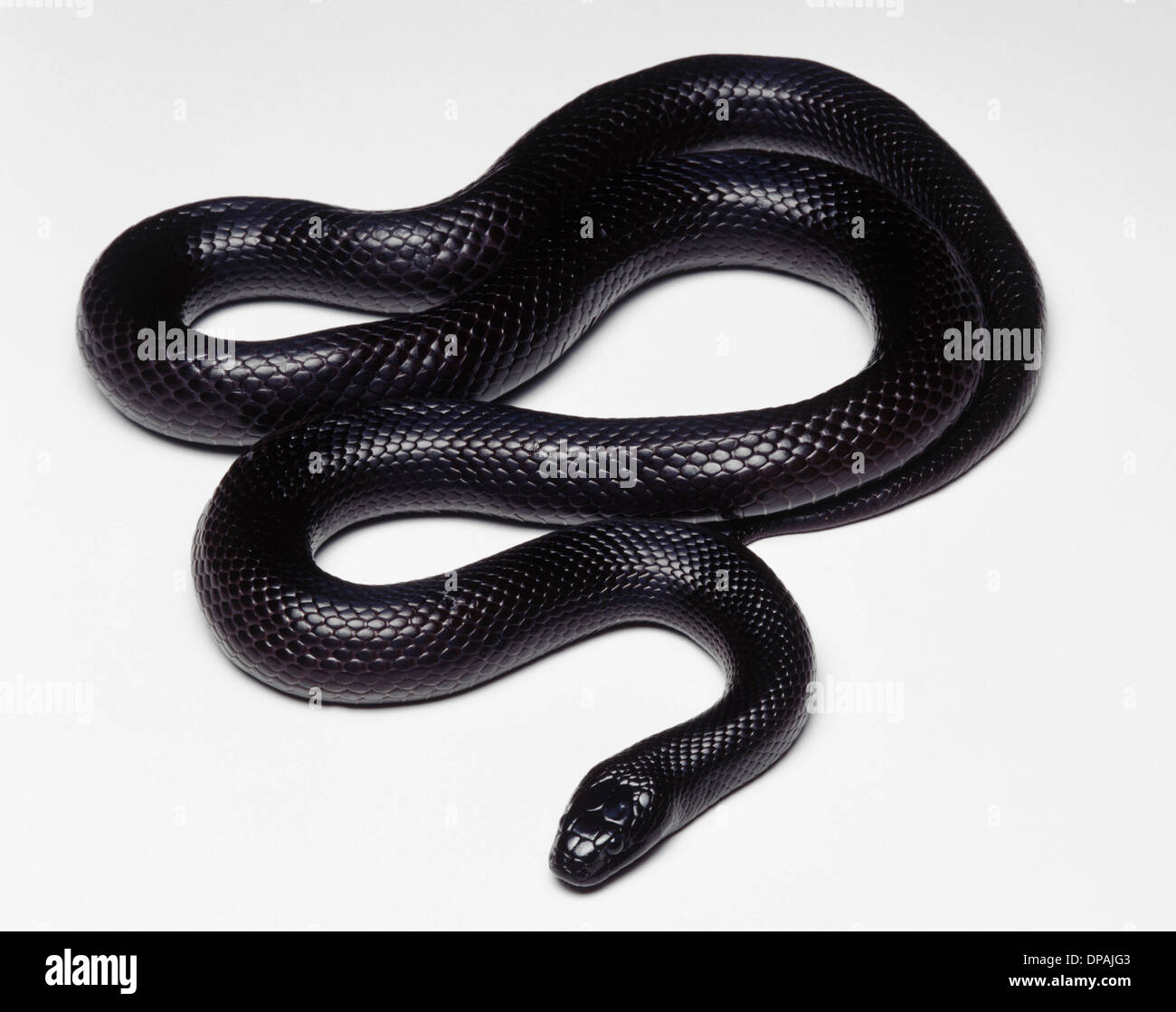 Mexican Black Kingsnake (Lampropeltis getula nigrita), studio shot - Stock Image