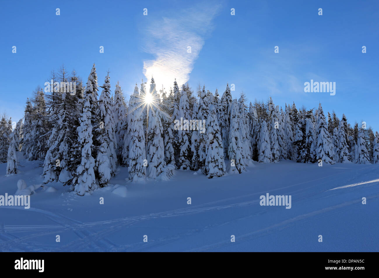 Conifer forest in winter. The Dolomites. - Stock Image