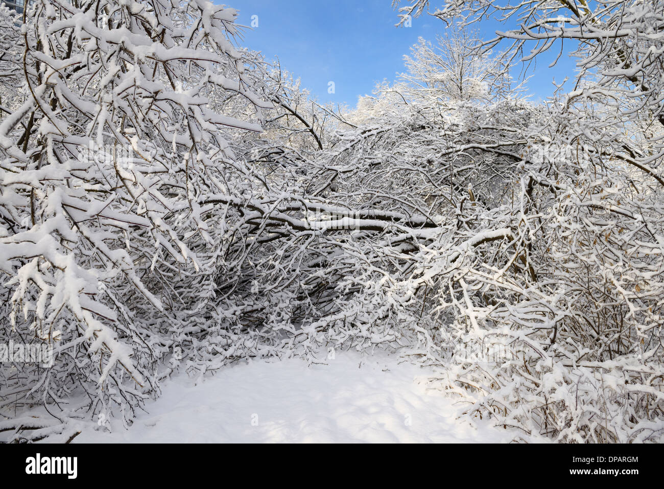 Forest path in Park along Humber river blocked by fallen trees covered in ice and snow Toronto after a storm - Stock Image