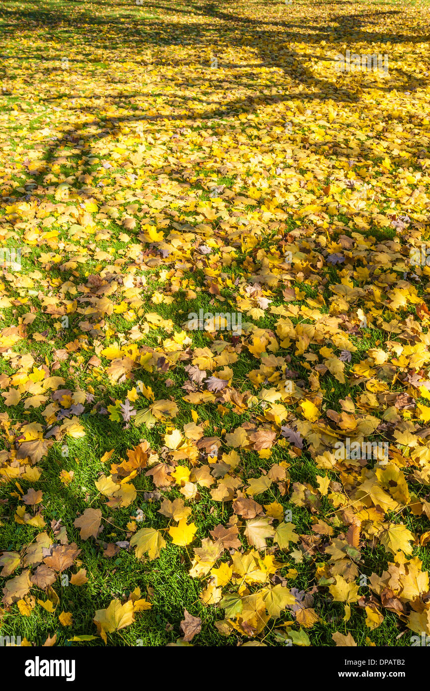 Autumn Ginkgo leaves carpeting lawn Stock Photo