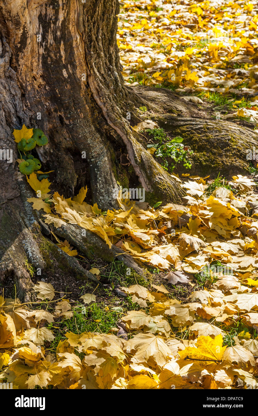 Autumn Ginkgo leaves carpeting lawn - Stock Image