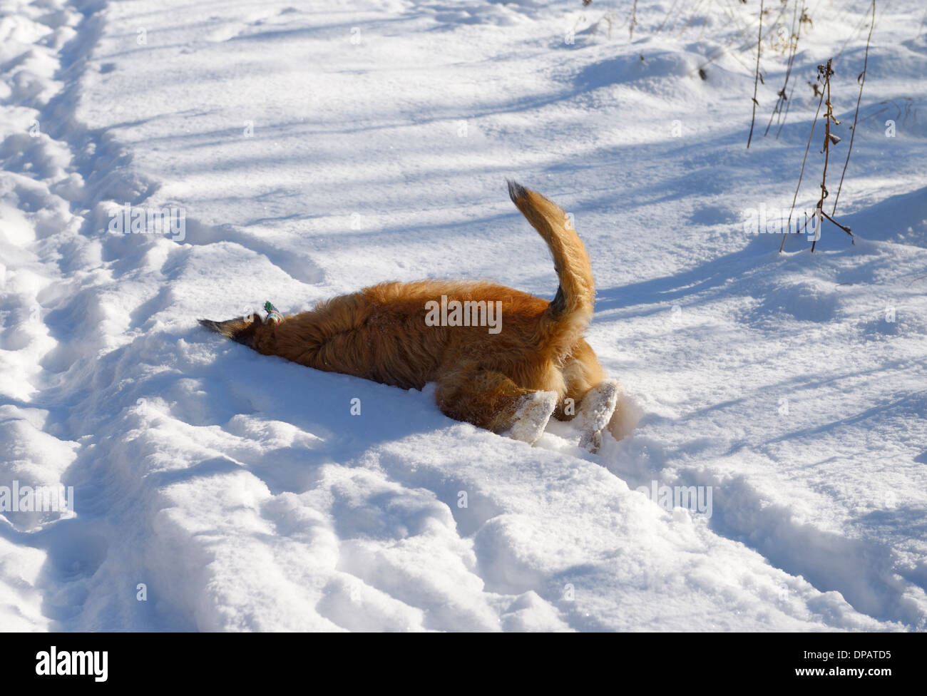 Pet dog on a walk burrowing into deep fresh snow to remove burrs from face with bum in the air - Stock Image