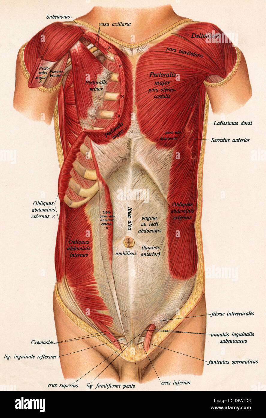 Muscles Front Of Body Stock Photo 65392259 Alamy In The Diagram Tag Full Human