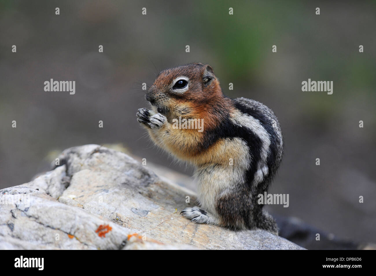 Golden-mantled Ground Squirrel (Spermophilus lateralis), Banff National Park, Alberta, Canada, Rocky Mountains - Stock Image