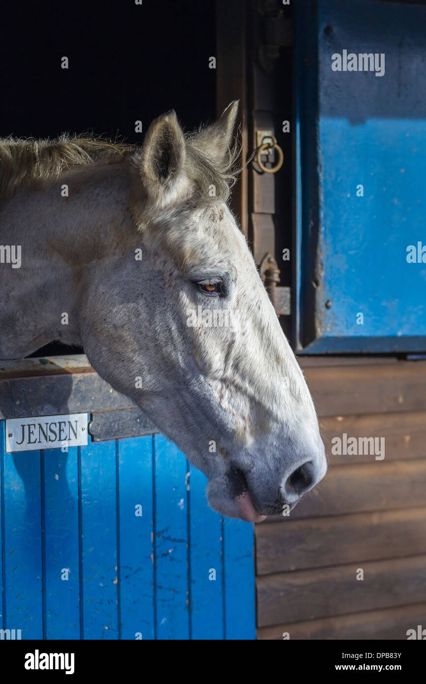 White horse in stables looking out. - Stock Image
