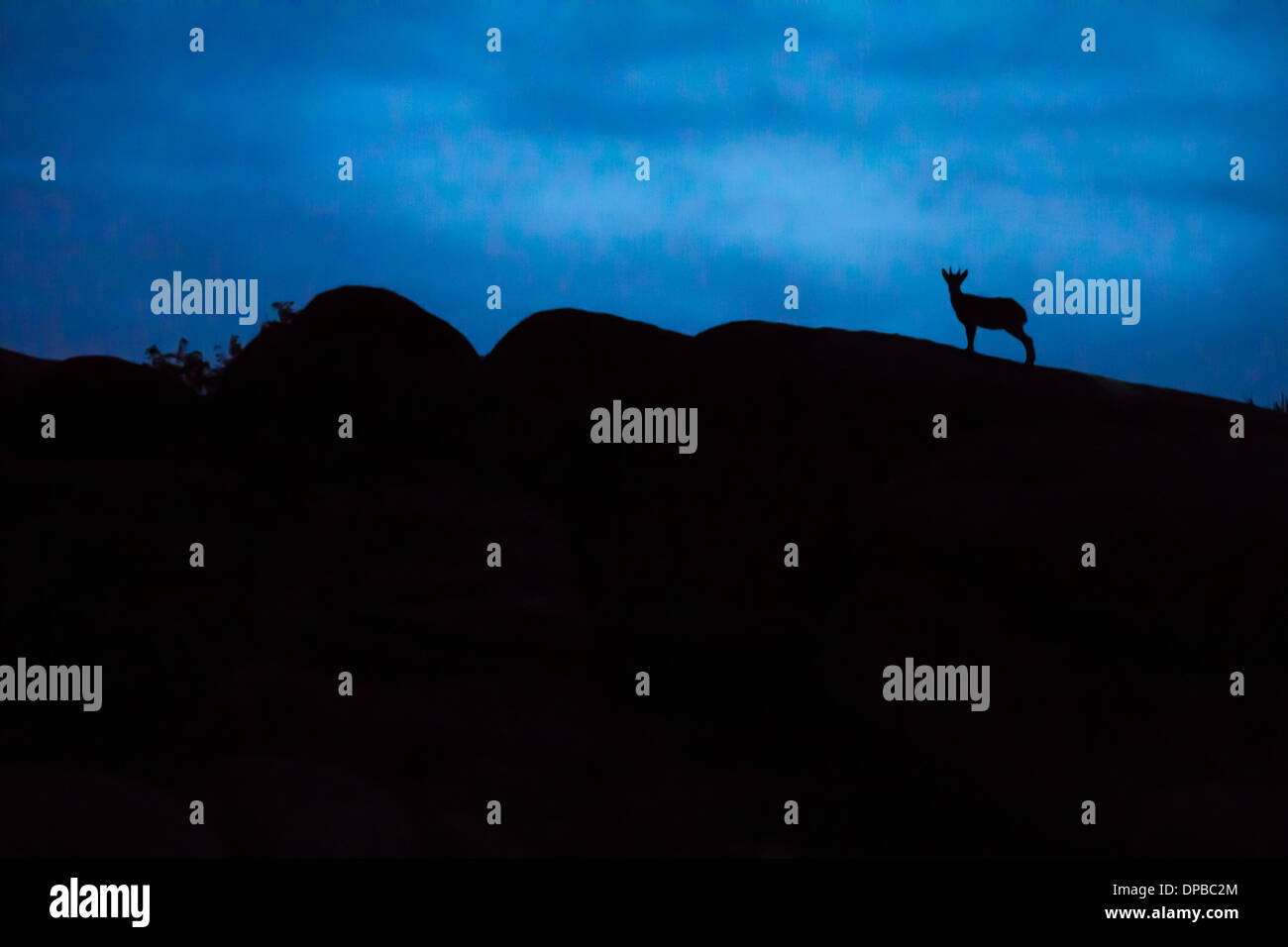 Spain, Madrid, La Pedriza, young Spanish wild goat, capra pyrenaica, silhouette on top of rocks Stock Photo