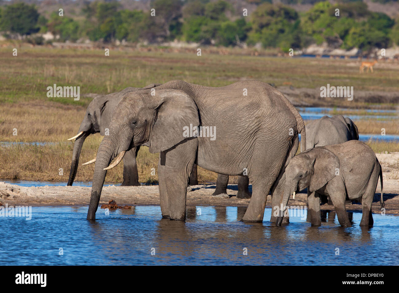 An Elephant Herd ( Loxodonta africana ) drinking at the Chobe River in Botswana. - Stock Image
