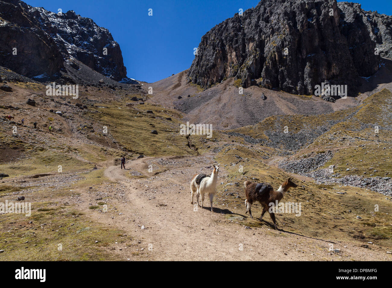 Llamas carrying luggage over a pass on the lares Trek, Peru - Stock Image