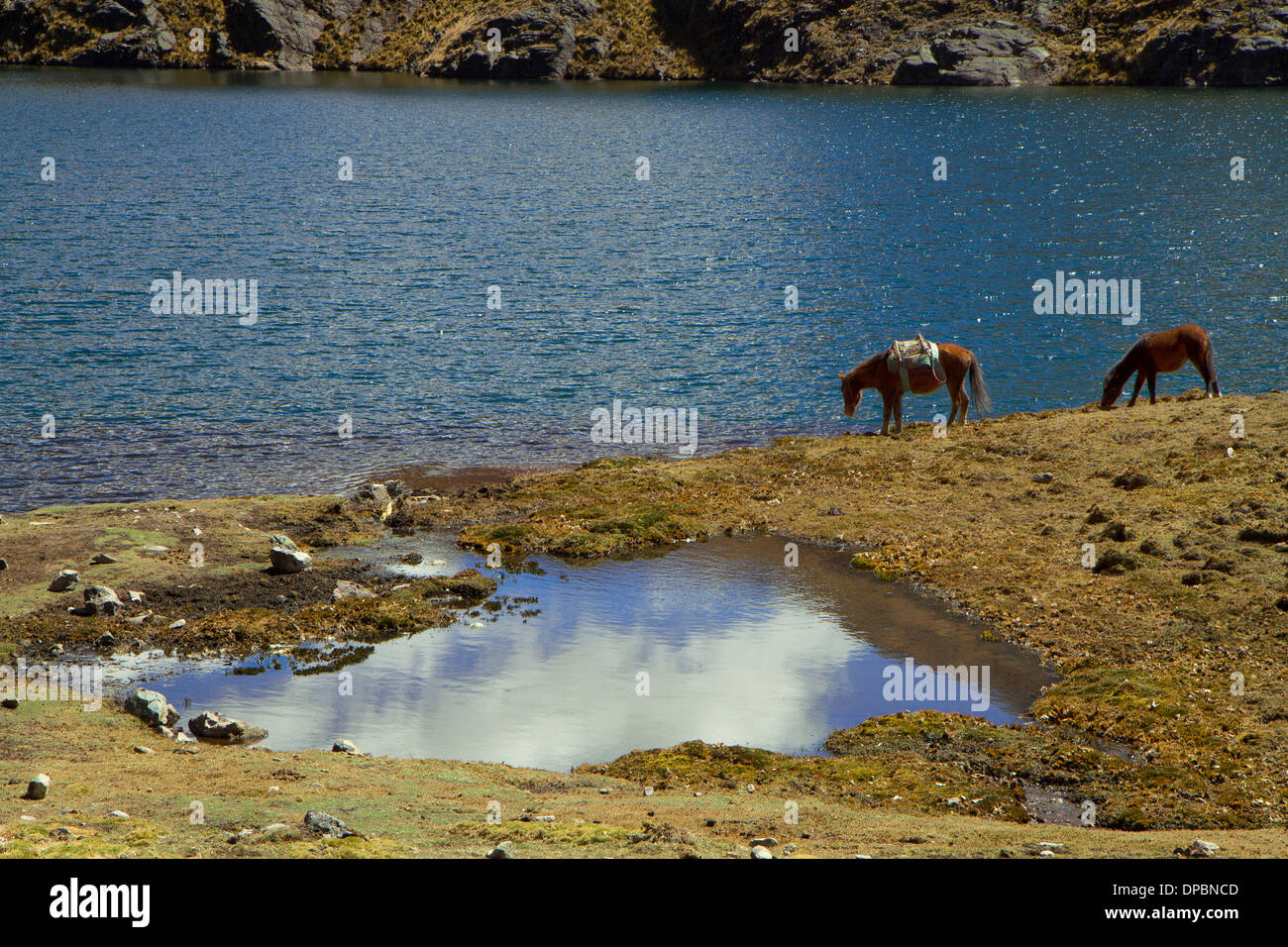 Two horses drinking water at a lagoon beside the Lares Trek, Peru - Stock Image