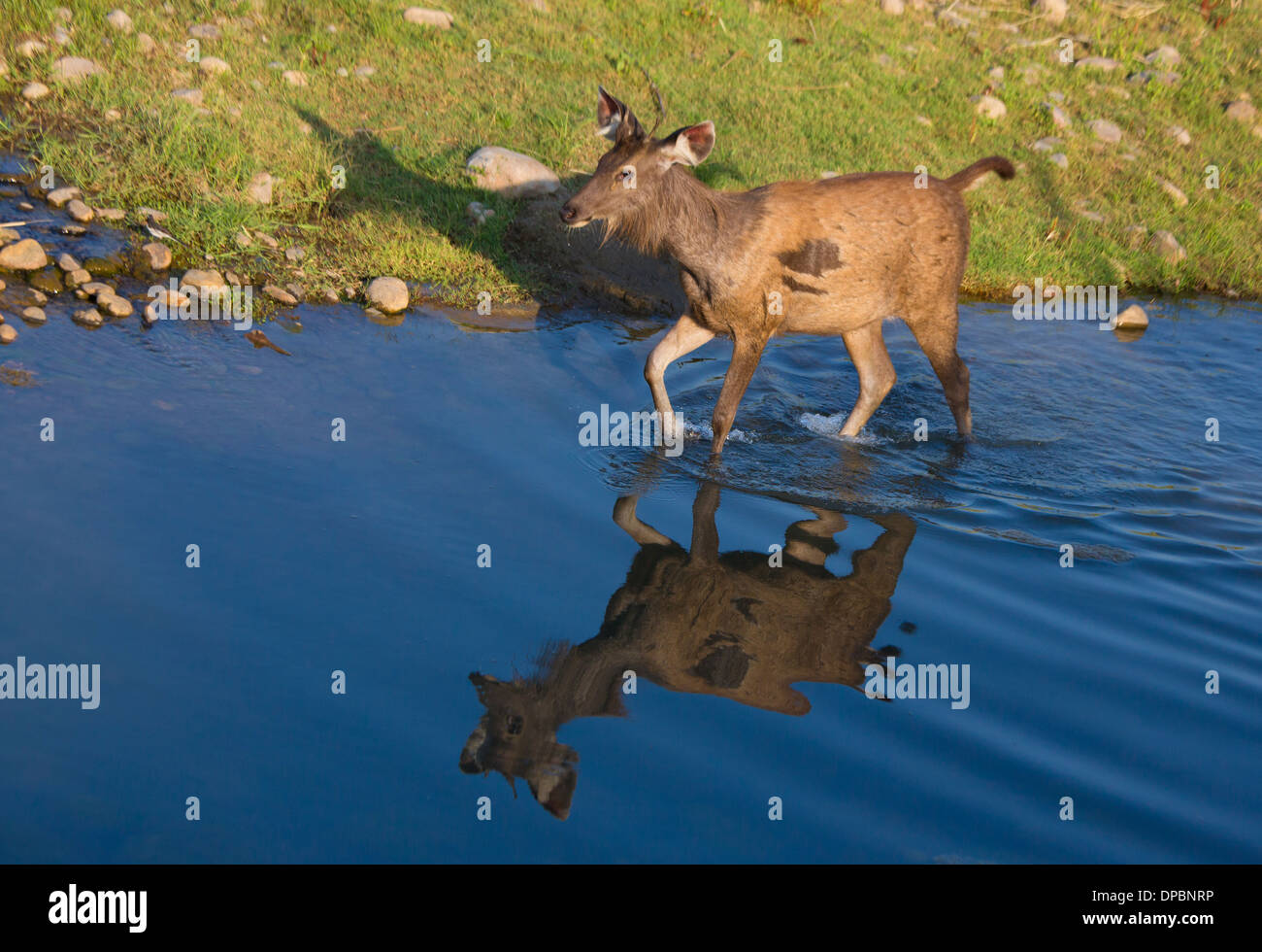 Sambar Deer - photographed at Corbett National Park (India) - Stock Image