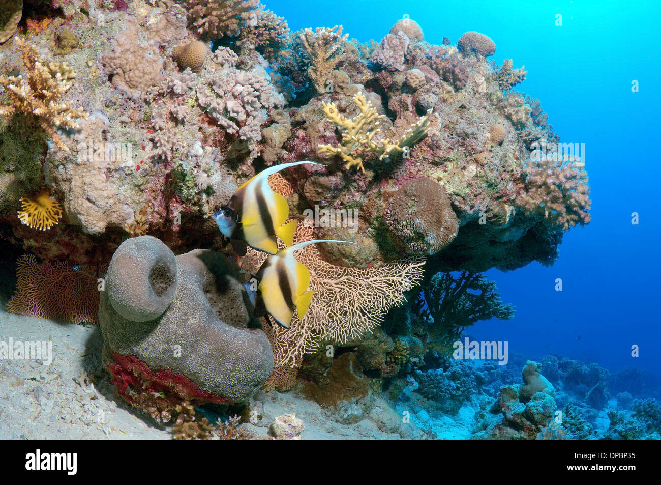 Pennant coralfish, longfin bannerfish or coachman (Heniochus acuminatus) Red sea, Egypt, Africa - Stock Image