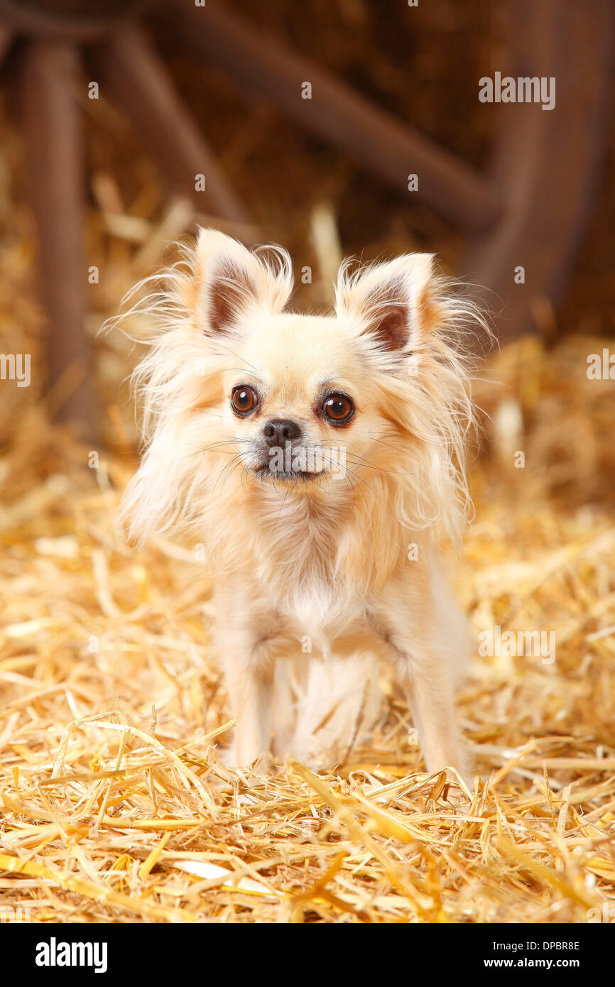 Longhaired Chihuahua standing at hay Stock Photo