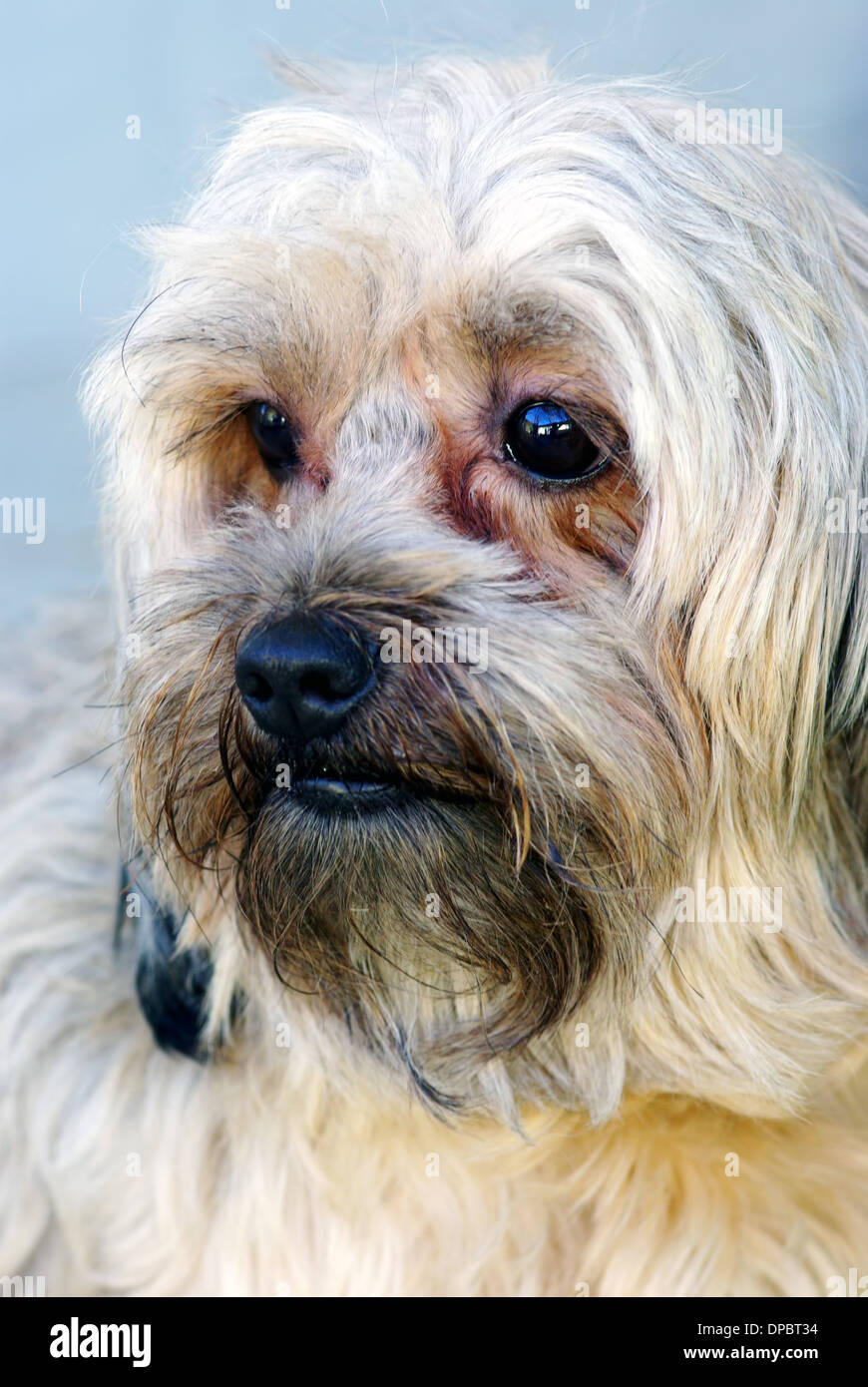 Lovely brown bichon portrait, close up image Stock Photo