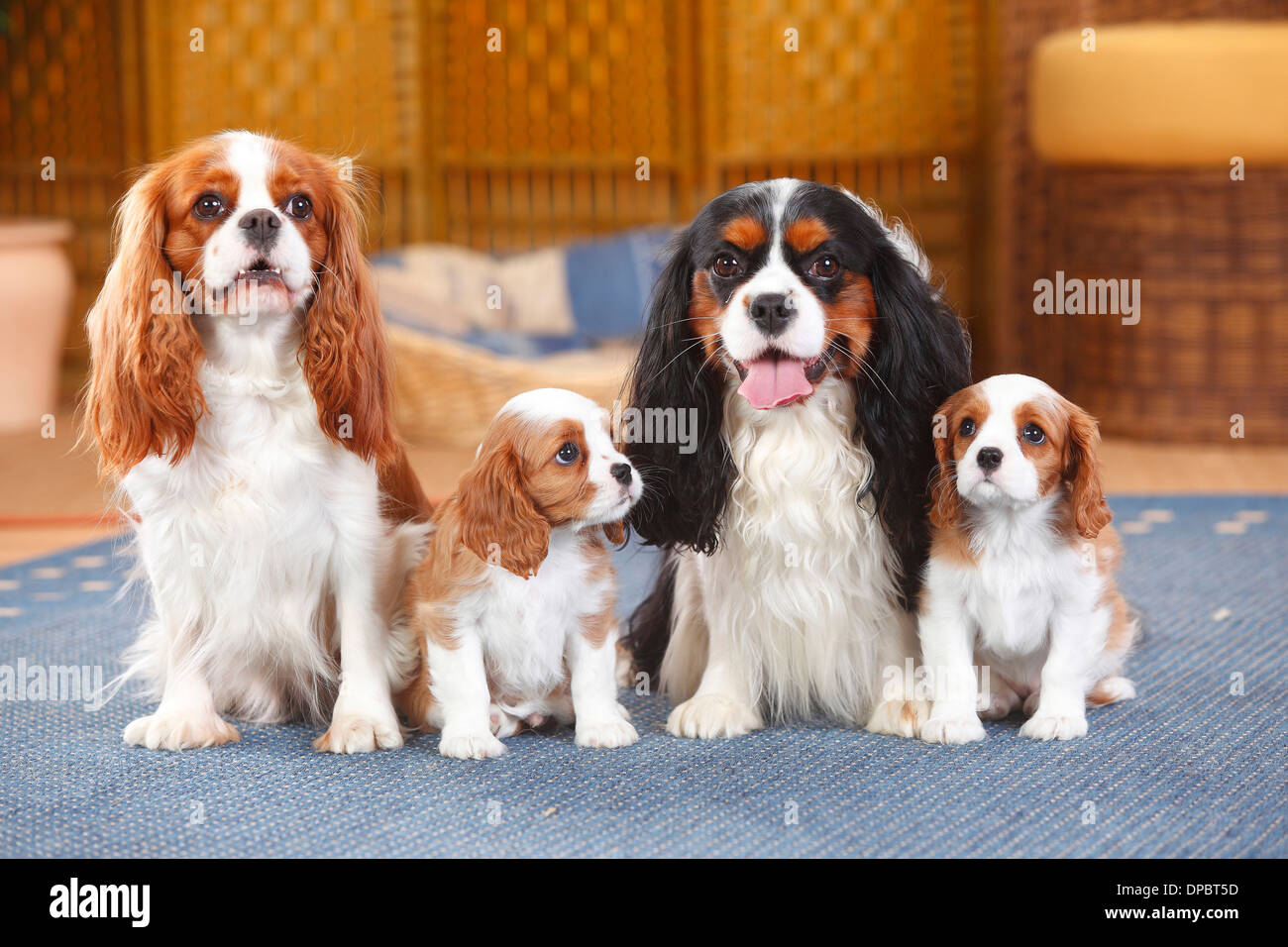 Two Cavalier King Charles spaniel with two puppies sitting on a carpet - Stock Image