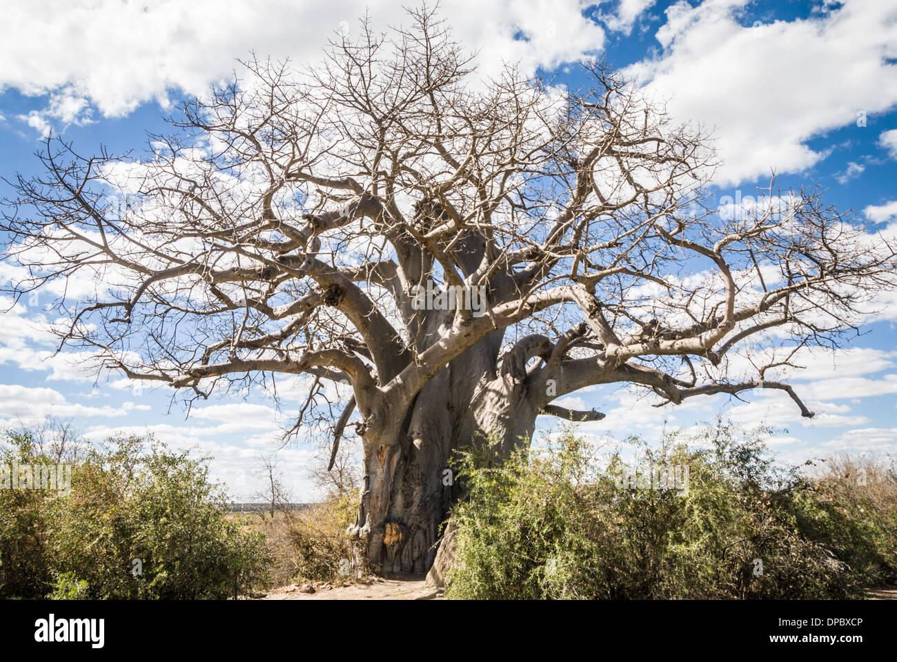 Big Baobab tree in Muhembo Game reserve, Namibia, Africa - Stock Image