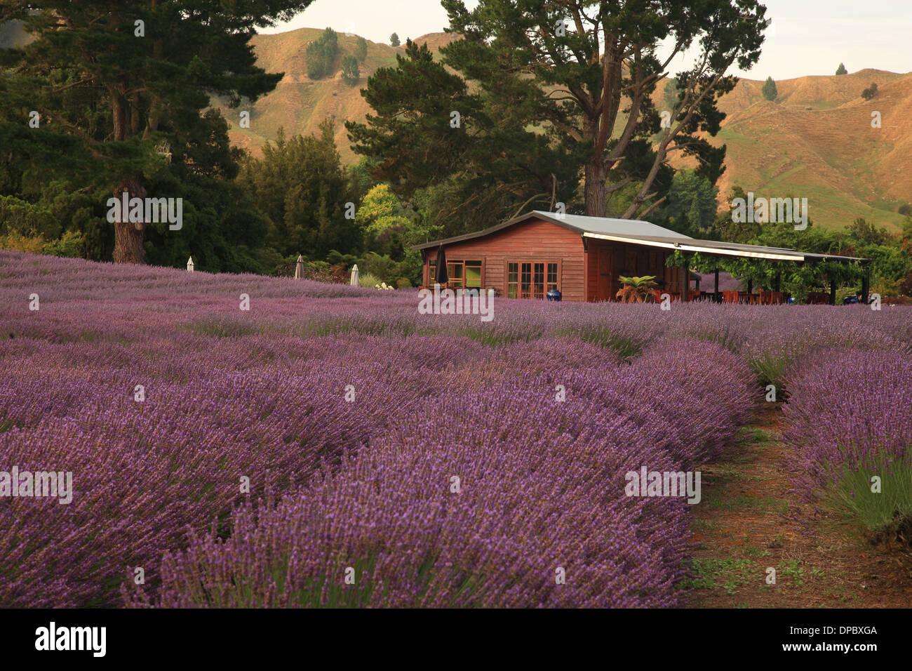 Lavender Farm, Forgotten World Highway 43, Taumarunu, North Island, New Zealand - Stock Image