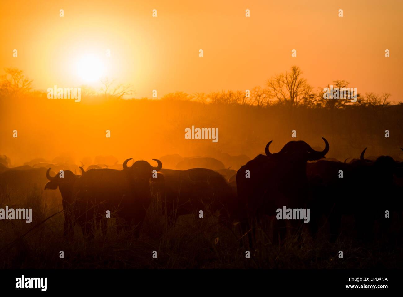Buffalo herd at sunset, Hwange National Park, Zimbabwe, Africa Stock Photo