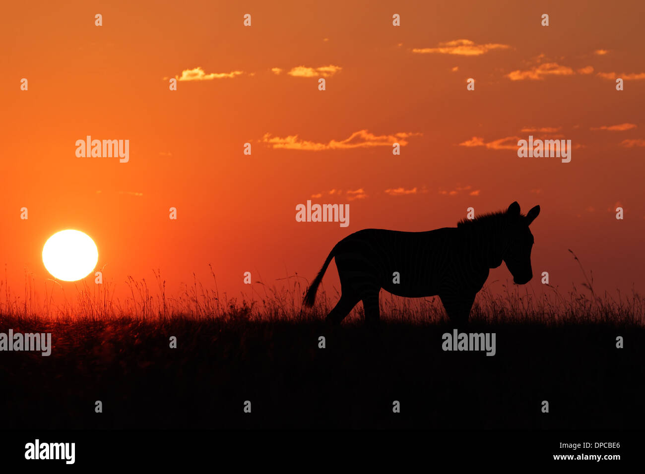 Cape Mountain Zebra (Equus zebra) silhouetted against a red sunrise, South Africa Stock Photo