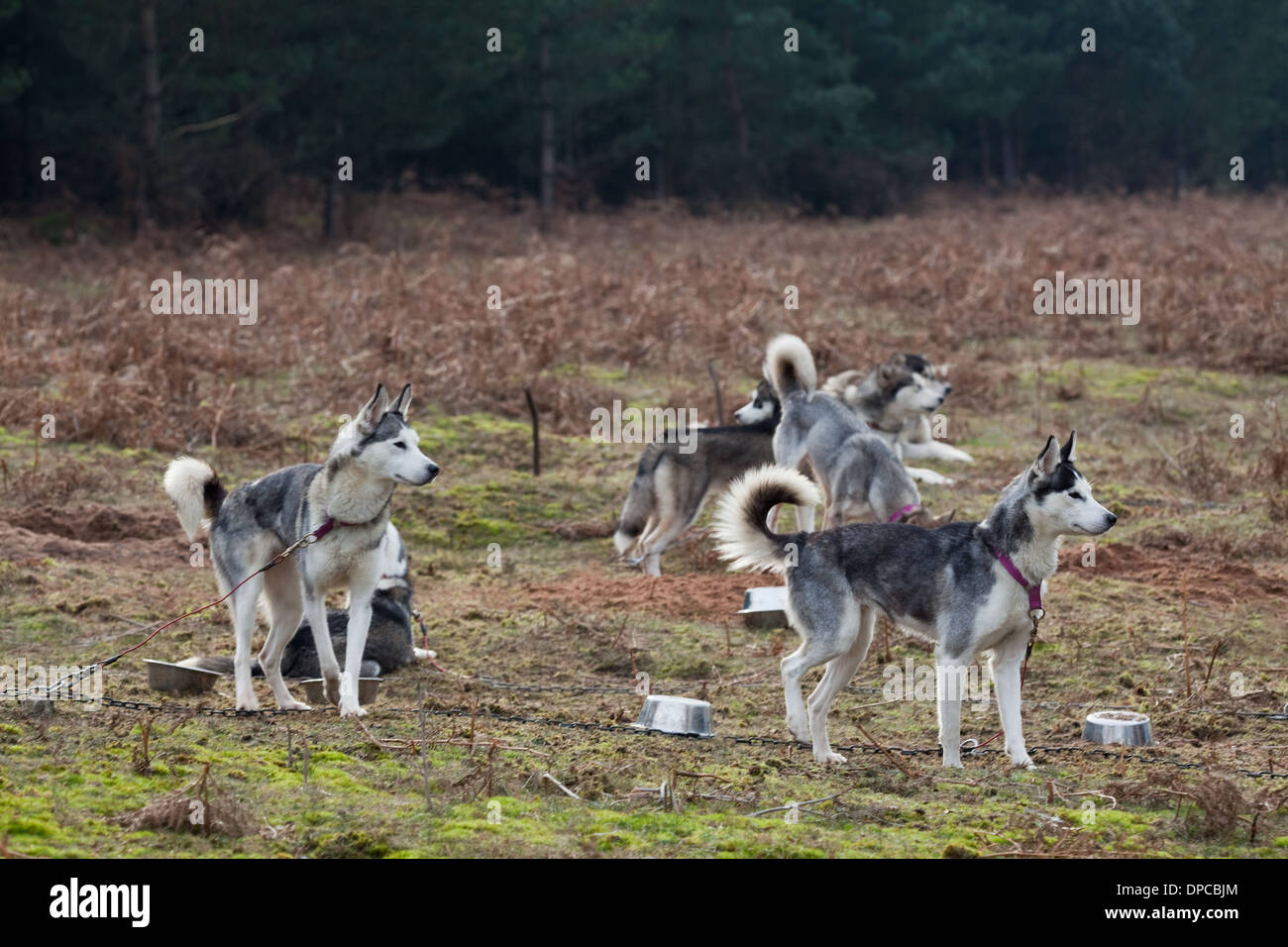 Siberian Huskies (Canis lupus familiaris). Tethered animals waiting their turn to be called for a race at a 'mush'. Thetford. UK. - Stock Image