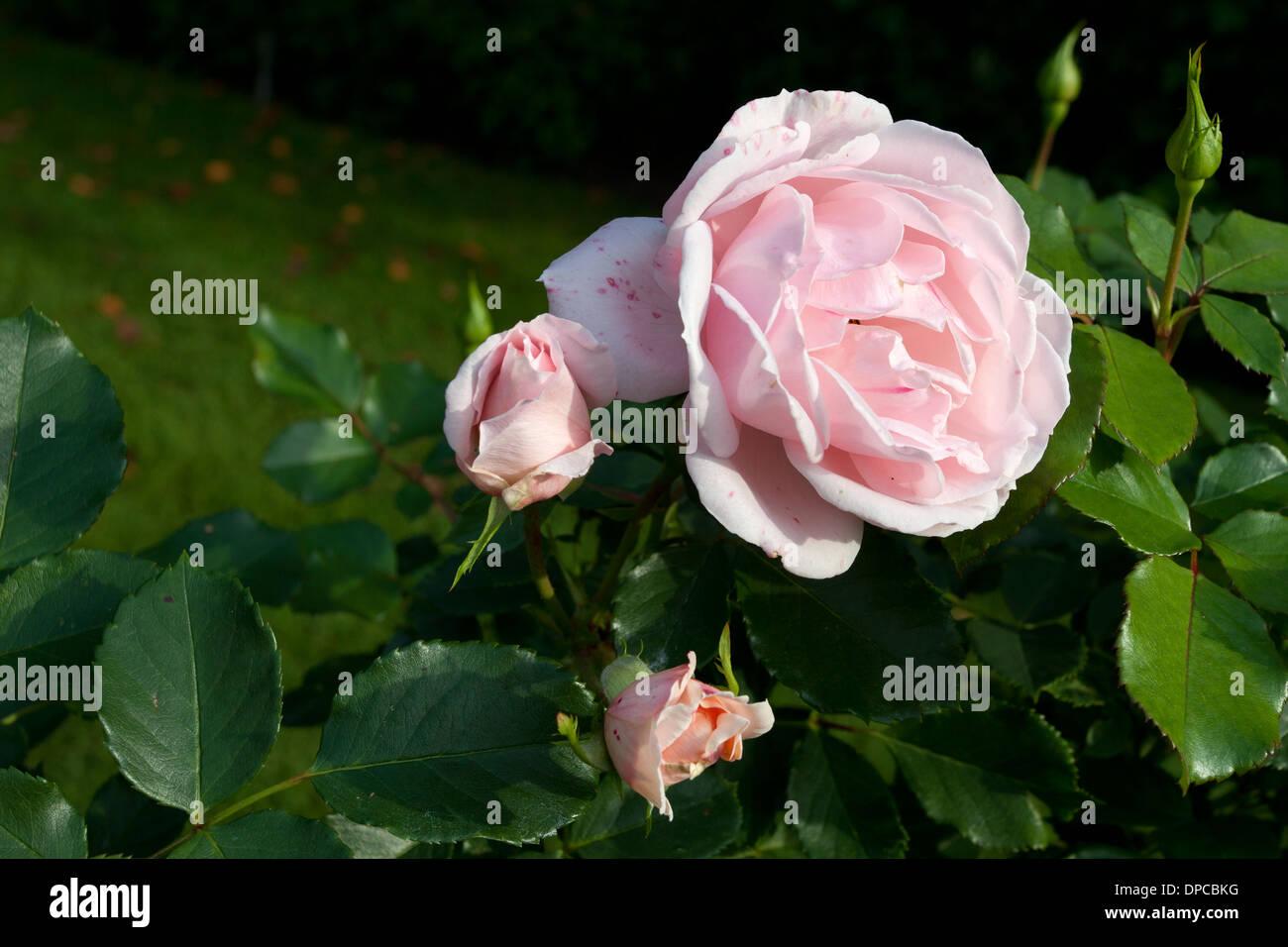 Tampere Arboretum: Rose - Stock Image
