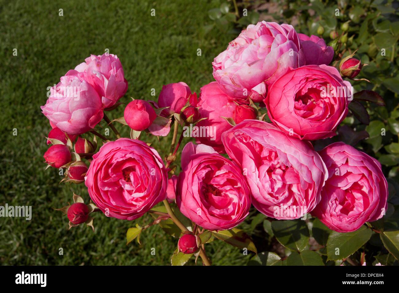 Tampere Arboretum: Roses - Stock Image