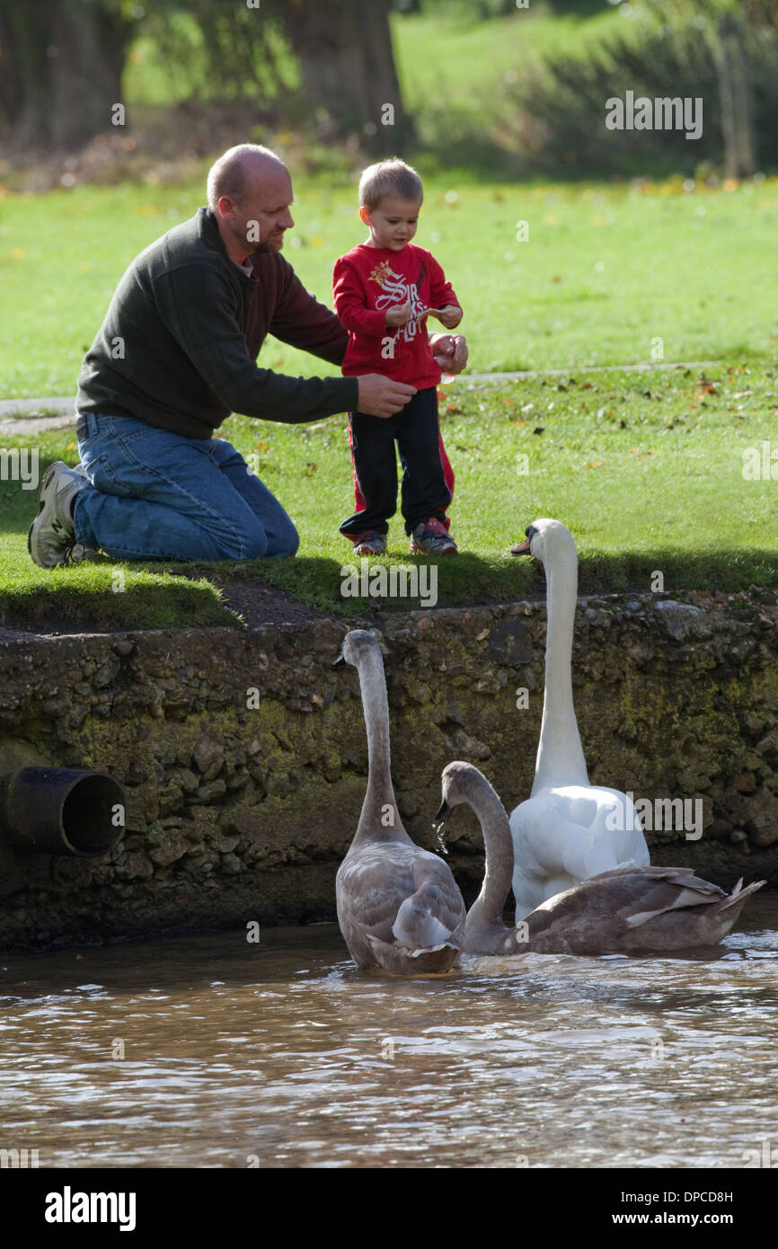 Mute Swans (Cygnus olor), being introduced and fed by a son and careful father. River Thet. Norfolk. East Anglia. - Stock Image