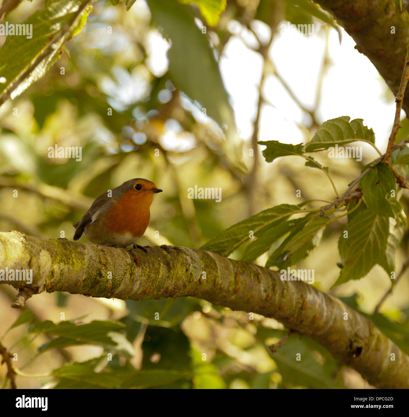 A robin Erithacus rubecula perched in a tree, Coughton Court Garden, Alcester, Warwickshire, UK. - Stock Image