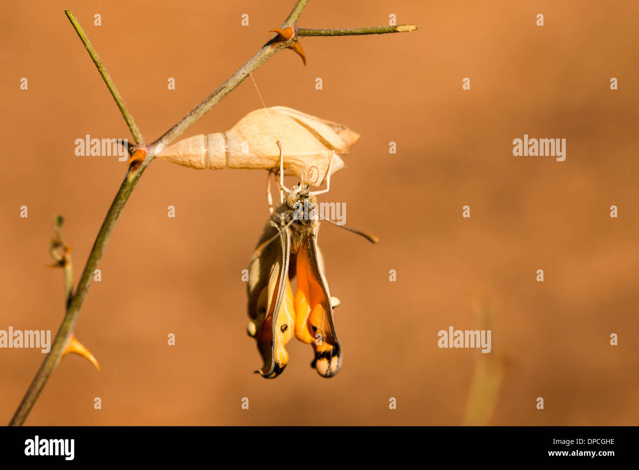 A set of 3 images of Large Salmon Arab butterfly, (Colotis fausta syn Madais fausta) as it emerges from its cocoon. - Stock Image