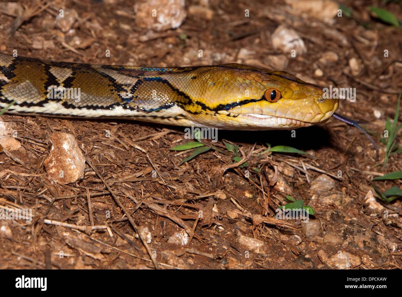 Python, Bau Bau, Sulawesi, Indonesia - Stock Image