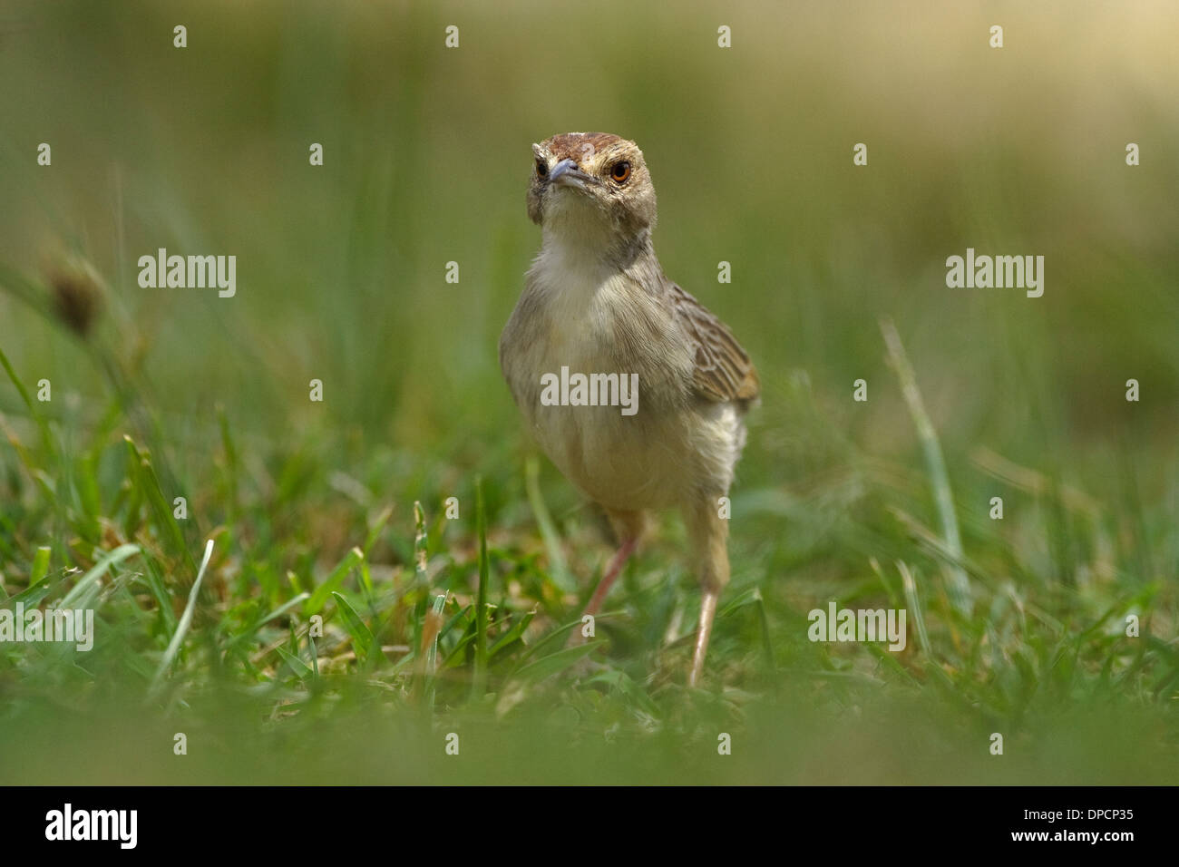 Winding Cisticola (Cisticola marginatus) - Stock Image