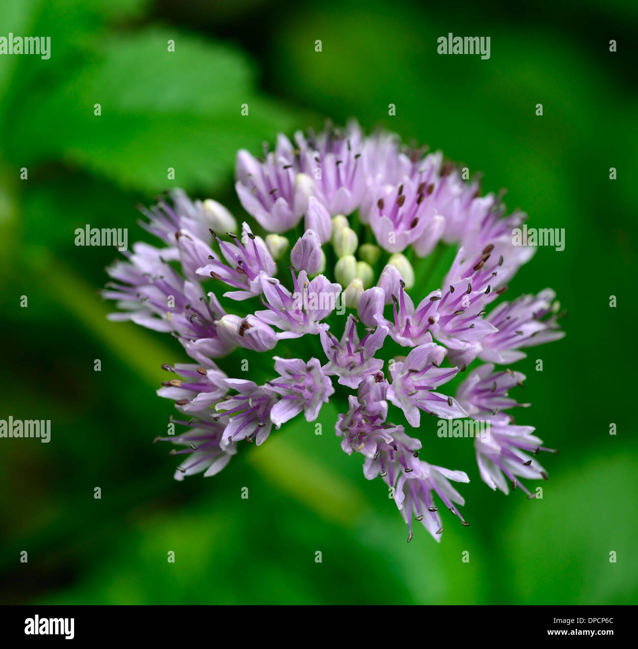 Allium Nutans Blue Chives July Summer Plant Portraits Pale Pink