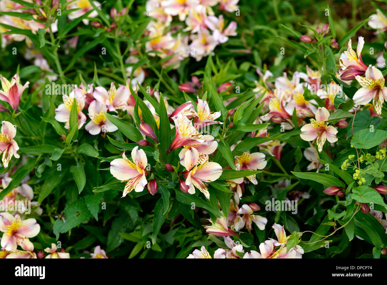 alstroemeria Peruvian lilly lily of the incas peach pink flush flushed flower flowering bloom blooming perennial Stock Photo