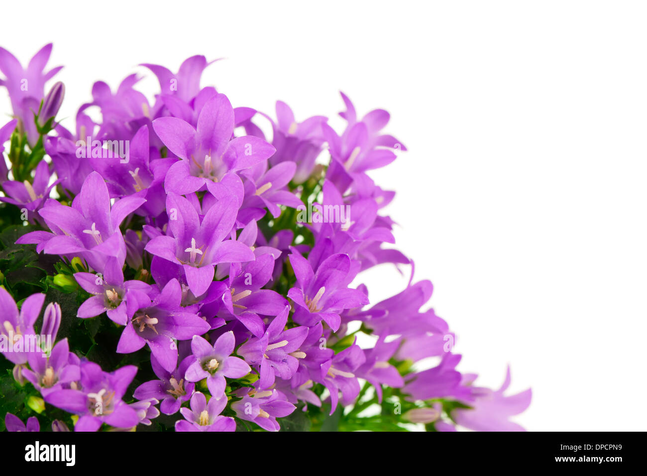 Blue Campanula Flowers On White Background Stock Photo 65434805