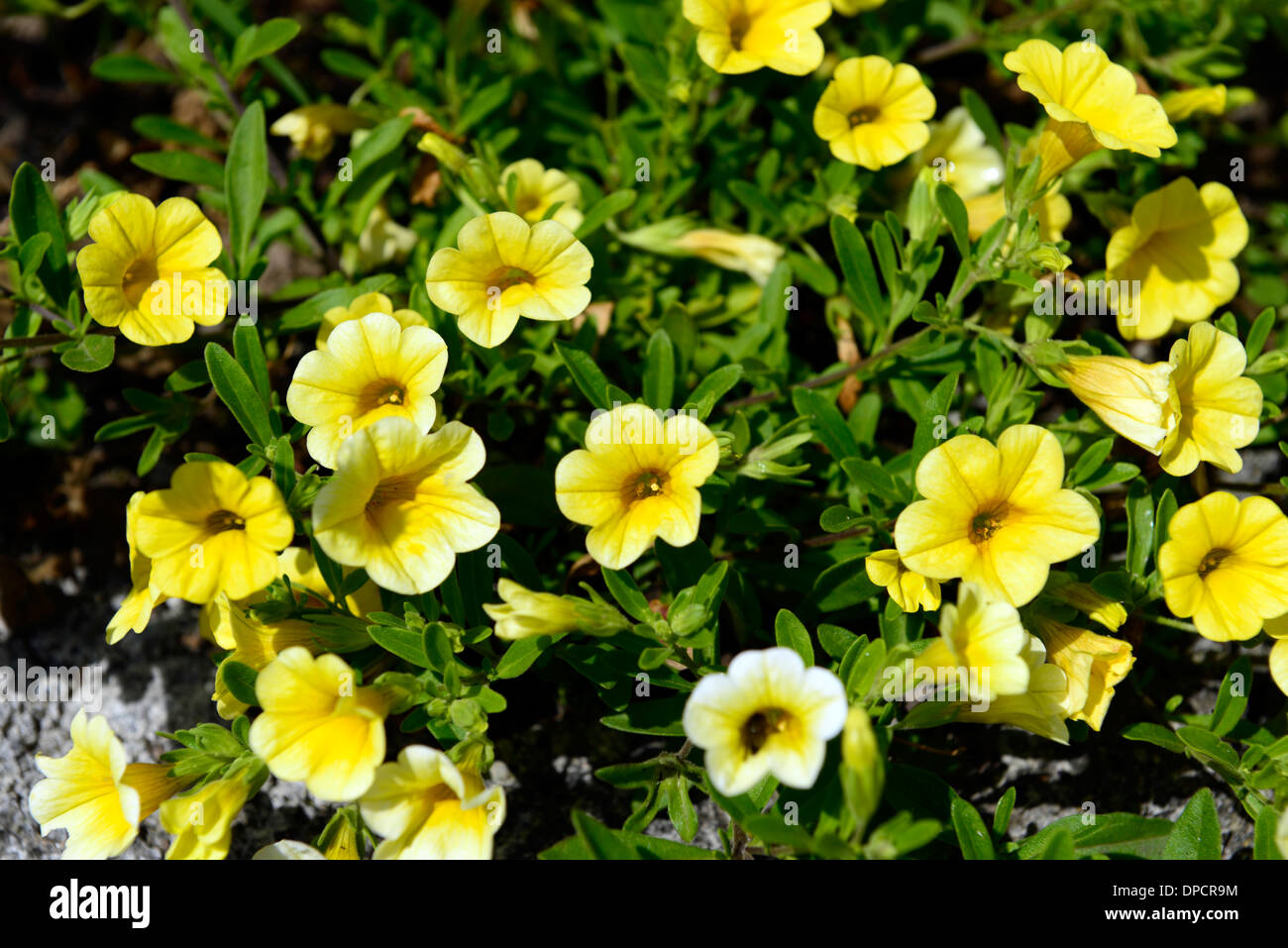 Flower bacopa stock photos flower bacopa stock images alamy bacopa yellow flowers flowering bed border bedding flower plant planting annual stock image izmirmasajfo
