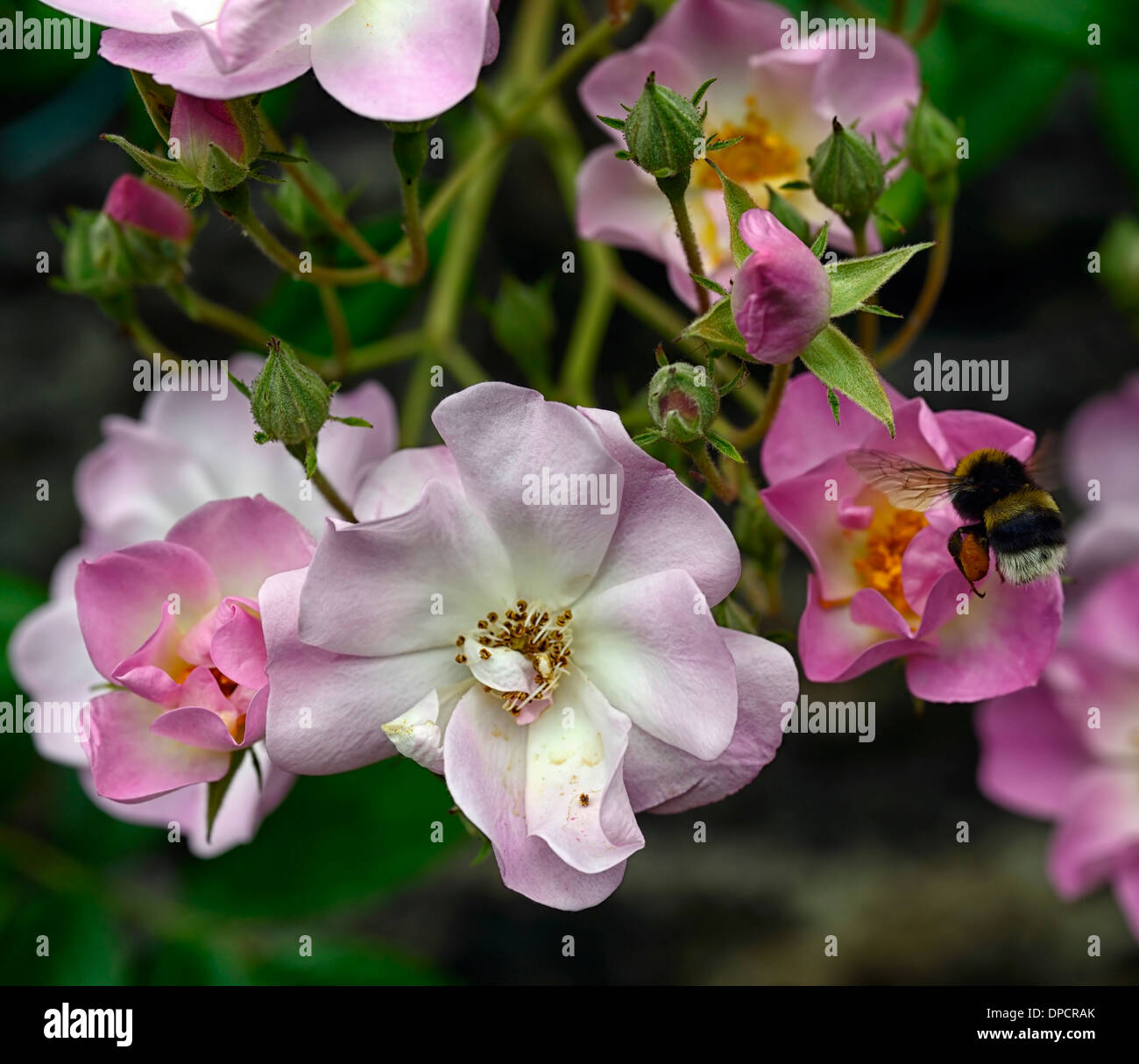 bee feed feeding rosa blush rambler rambling climb climbing rose pink flowers flowering bloom blooming - Stock Image