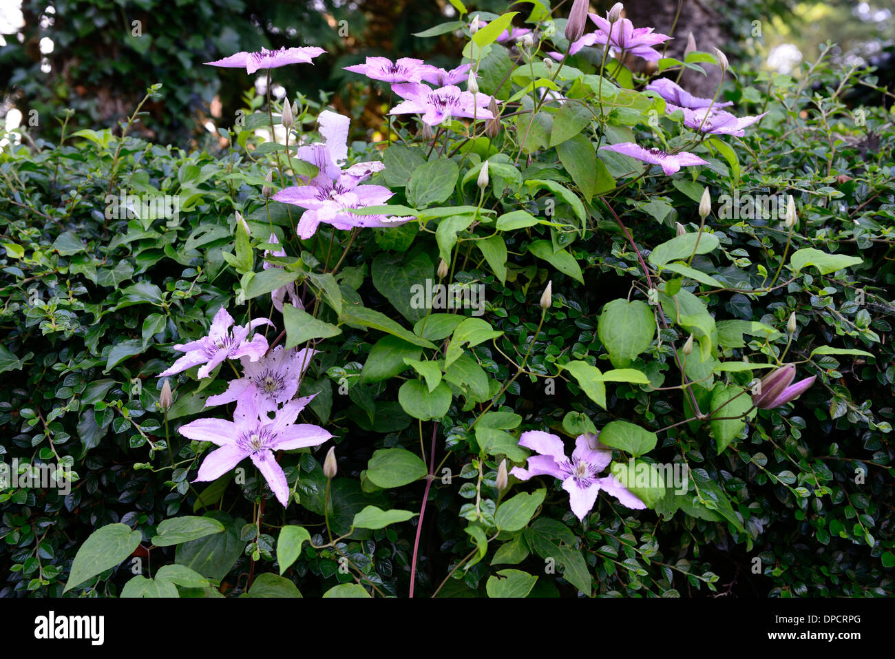 clematis hagley hybrid vigorous climber climbing climb pink flower flowering blooming plant cover wall - Stock Image