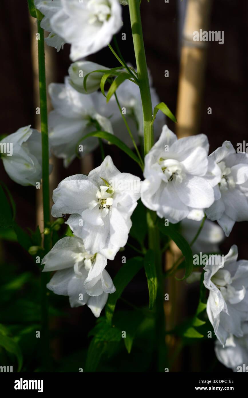 Delphinium Galahad White Tall Flower Spike Spire Flowers Flowering