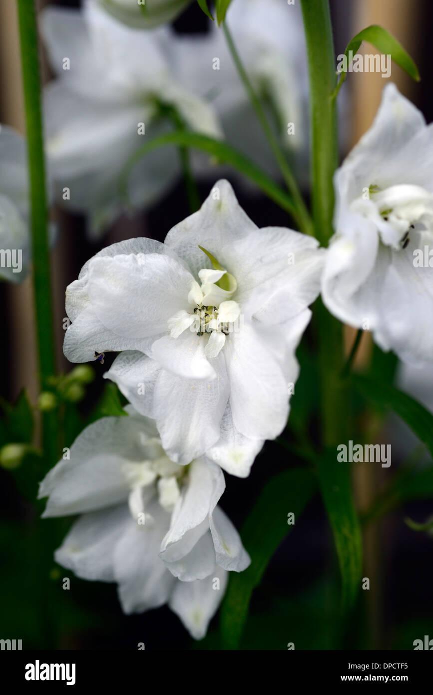 Delphinium galahad white tall flower spike spire flowers flowering delphinium galahad white tall flower spike spire flowers flowering blooms closeups close ups ups perennials stake staked mightylinksfo