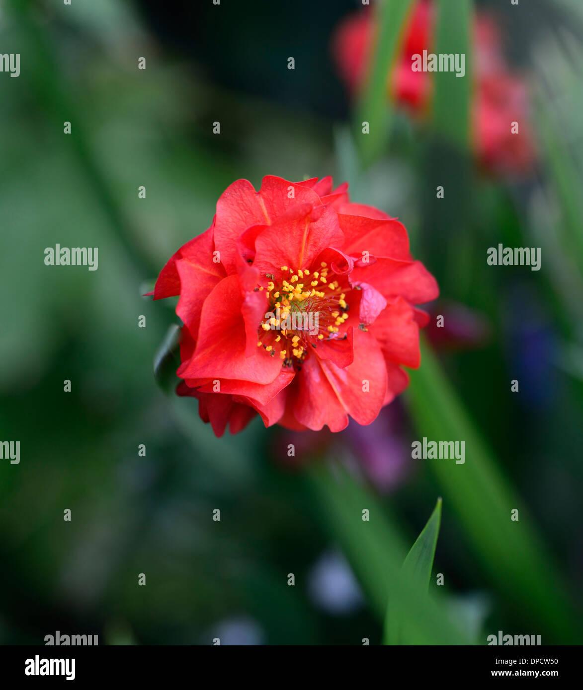 Geum Chiloense Mrs J Bradshaw Red Flower Flowers Flowering Bloom