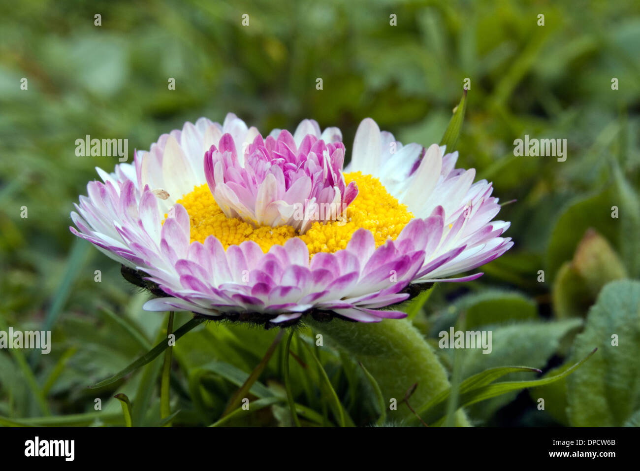 Double daisy stock photos double daisy stock images alamy an uncultivated double daisy growing in a lawn stock image izmirmasajfo