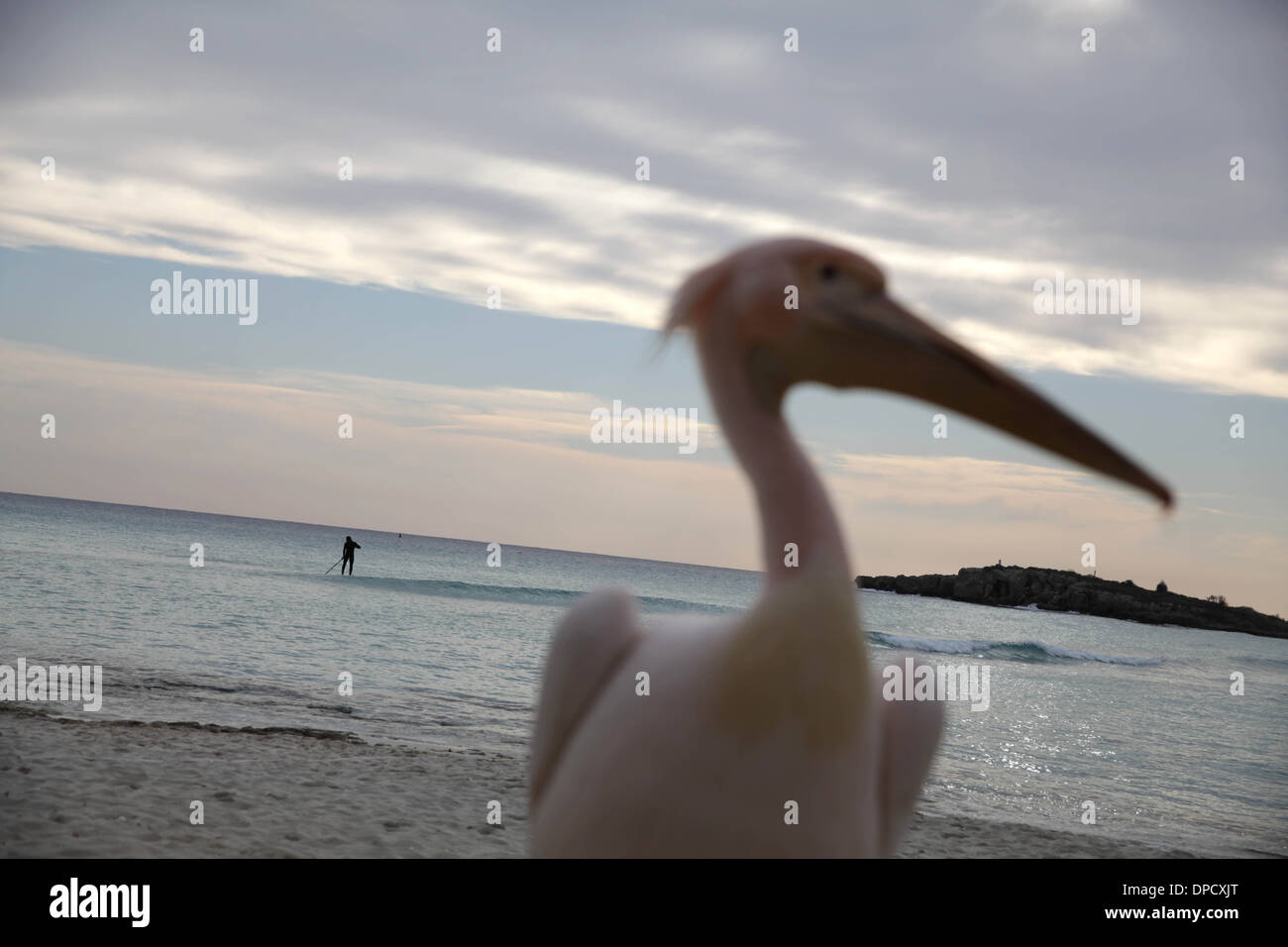 A pelican lives in Nissi beach in Ayia Napa,Cyprus Stock Photo