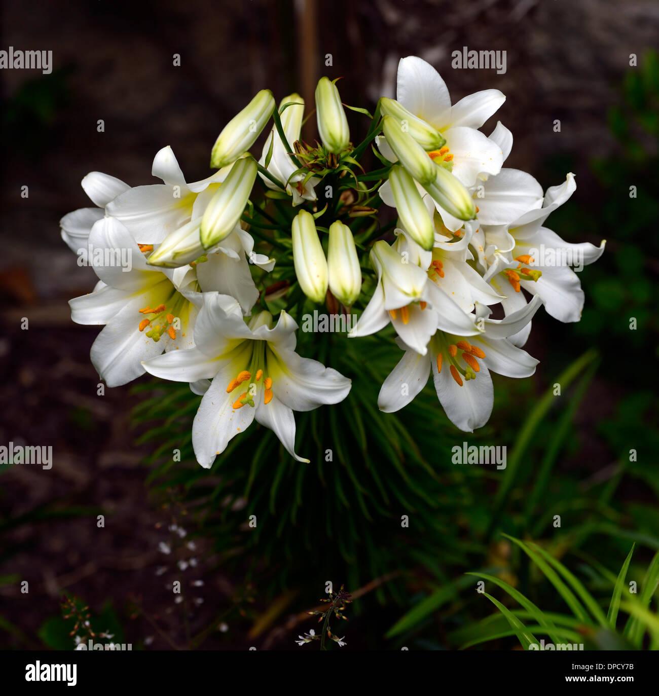 White Lily Flower Lilium Longiflorum Stock Photos White Lily