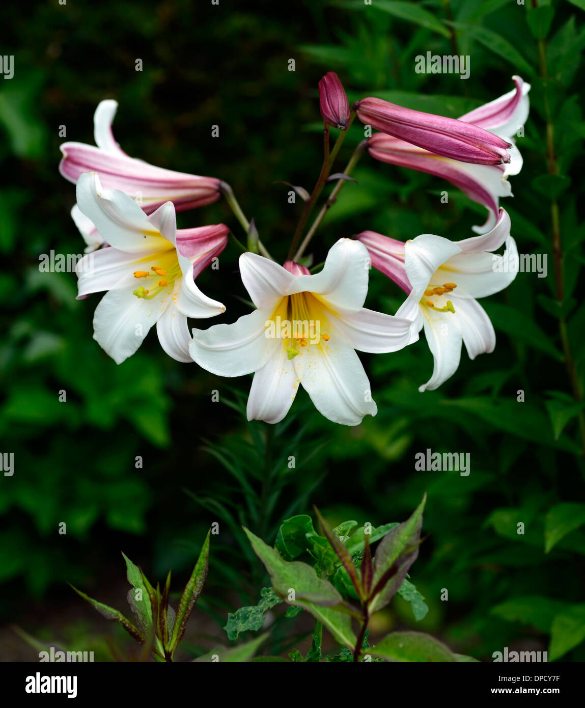 lilium regale regal lily lilies white trumpet flower flowers flowering blooms scented scents fragrant fragrance - Stock Image