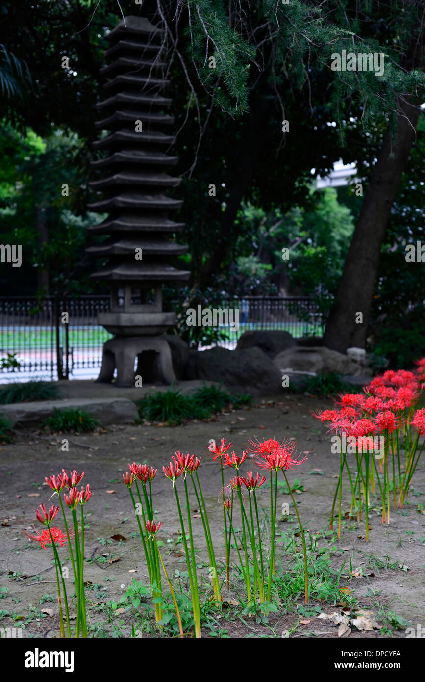 Lycoris Radiata Line Row Red Spider Lily Blooms Flowers Flowering