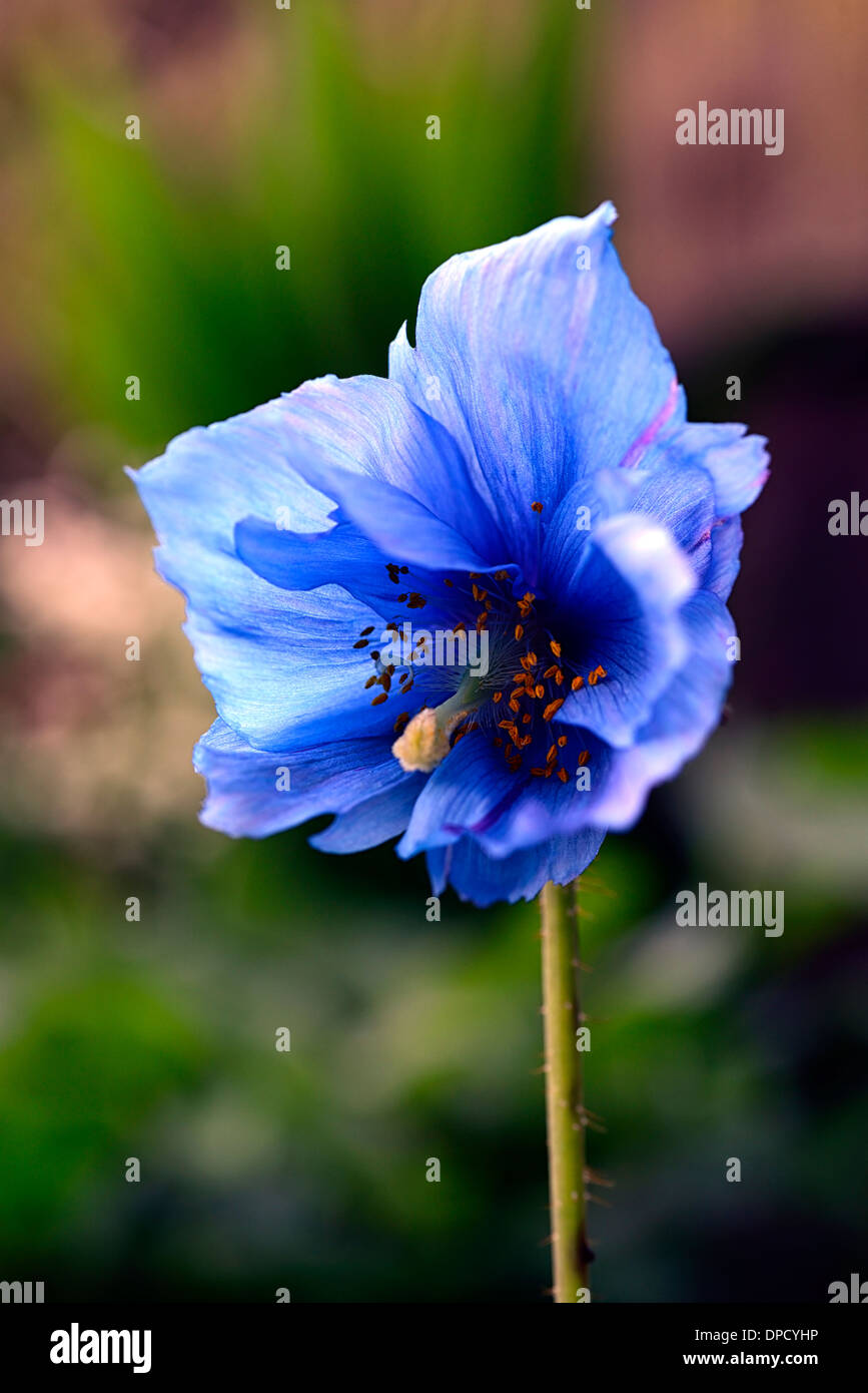 Meconopsis Betonicifolia Himalayan Blue Poppy Flower Perennial Stock