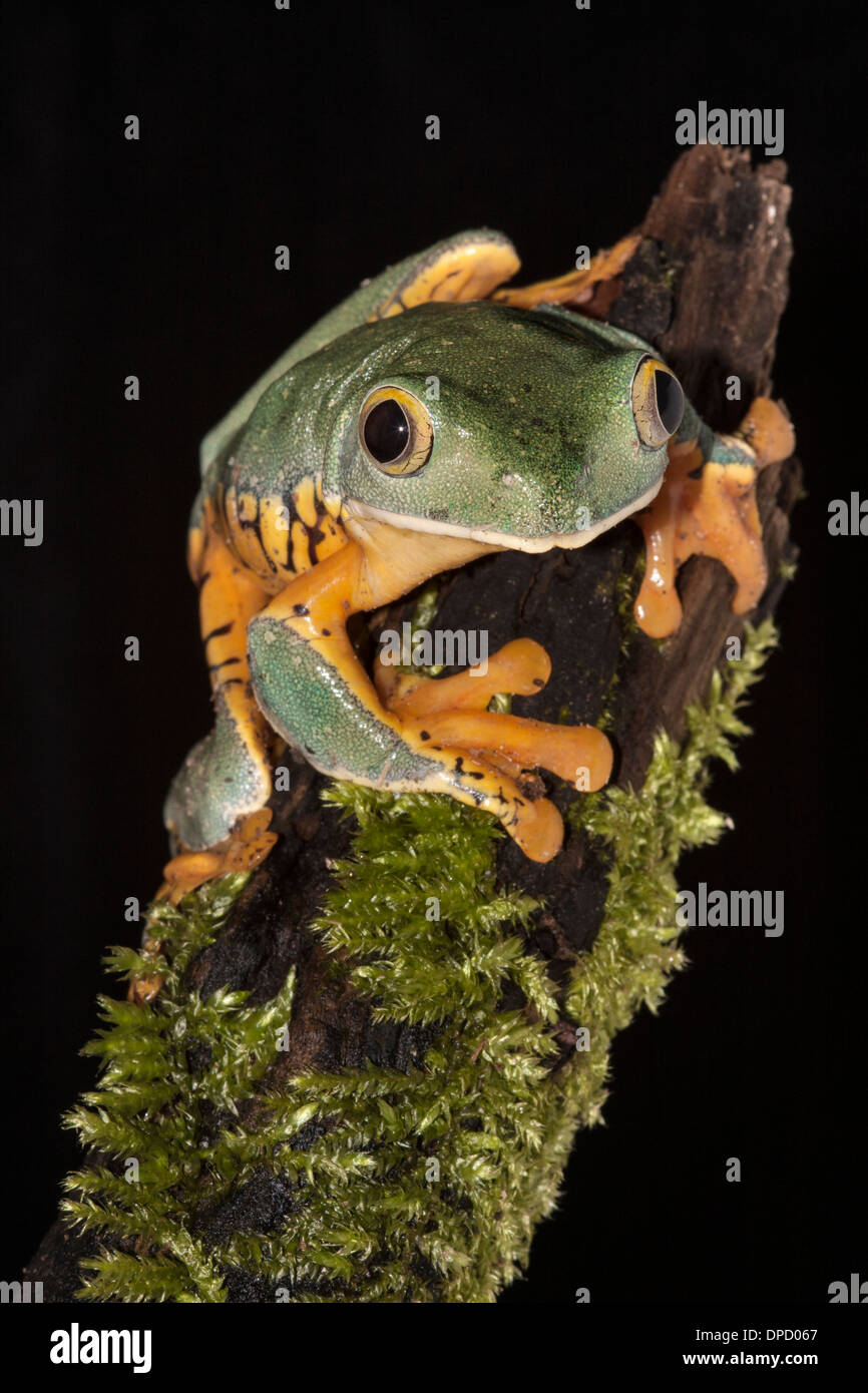 Splendid leaf frog, Cruziohyla calcarifer Stock Photo